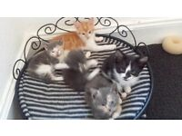 2 BEAUTIFUL KITTENS FOR SALE £60