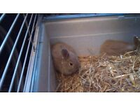 3 Baby Rabbits ready 11 th May