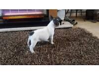 French bulldog pup