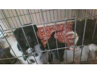 jack russel cross westy terrior puppies