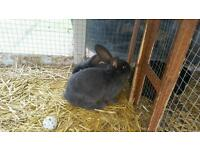 for sale 4 giant rabbits