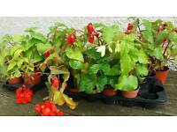 Plants for sale all Perrenial all £1 each