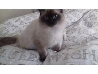 Ragdoll male 9 month old