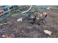 Shamo hens chickens