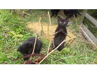 3 black tabby kittens