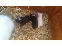 3 guinea pigs ready now