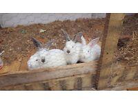 White newzealand and Californian rabbits