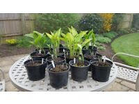 Hostas / Hosta Plants for shade Herbaceous Perennial