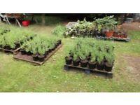 LAVENDER PLANTS IN LARGE POTS FOR SALE