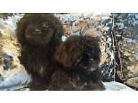 Stunning KC Registered Blac Shih Tzu Puppy Girls