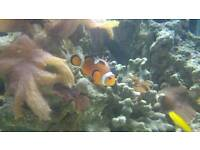Marine Clown Fish