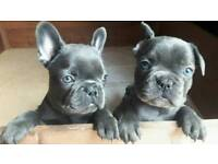 Blue KC Registered French Bulldog Puppies