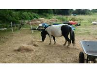 Adorable, well behaved small shetland pony for share. Perfect lead rein pony