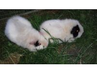 Sow guinea pigs