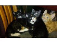 Beautiful british shorthair Kittens For Sale.