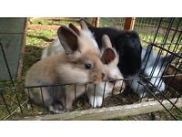 Four lionlop baby boy bunnies