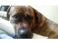 Staffy mastiff looking for a new home