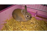Baby Rabbit Female with Cage