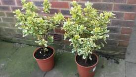 2 X GARDEN SHRUBS EUONYMOUS FORTUNEI - If reading this they will still be for sale