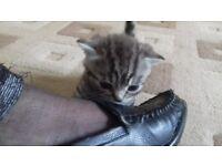 British short hair kitten