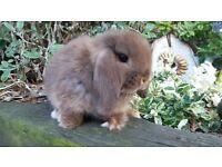 Baby mini lop bunny rabbits