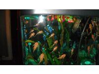 Tropical fish, ALBINO BRISTLENOSE PLECS
