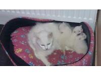 Very nice white kittens