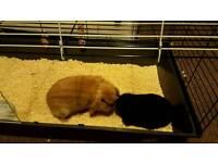 Black Mini lob rabbit female + cage etc