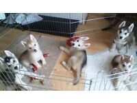 Heathy malamute x husky for sale