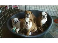 Gorgeous British Bulldog puppies