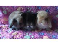Pedigree mini lop babies