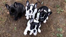 Full KC Reg French Bulldogs