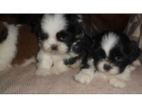 BEAUTIFUL FLUFFY SHIHTZU PUPPIES LOOKING FOR FOREVER HOMES.