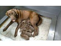 Pedigree chocolate Labrador retrievers