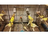 Color canaries for sale