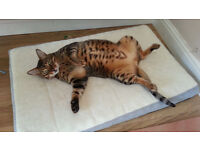 Two Bengal Cats looking for rehoming, Indoor cats. Can only go together.