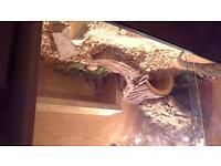 2 bearded dragons for sale