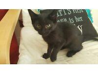 9 Week old Black female Kitten