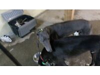 Greyhounds looking for loving homes in Oxfordshire and surrounding areas