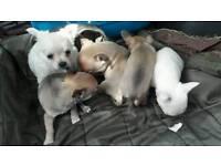 Chihuhua pups