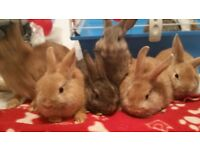 4 x netherland dwarf cross rabbits