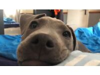 Blue staffy puppy male
