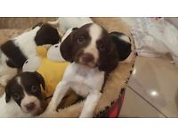 Kc springer spaniel puppies