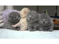 british shorthair x ragdoll kittens