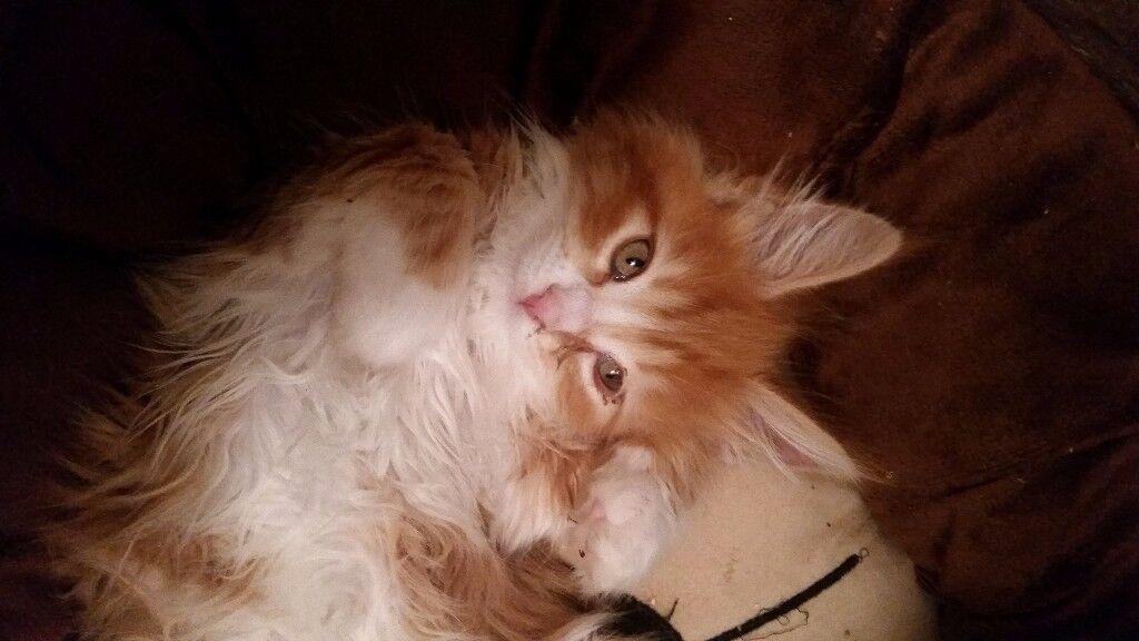 Maine Coon Pedigree Kitten