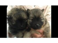 Pomeranian female pups for sale £3000