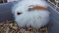 7 week old female bunny rabbit