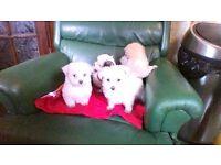 puppies morkie maltese/yorkshire terrier cross