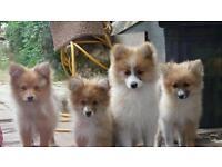 Pomeranian Puppies 3 Months