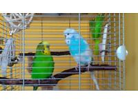 Two male Budgies with cage and food supply- looking for a warm home!